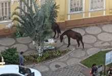 Photo of Cavalos passeiam pelo Centro de Viçosa