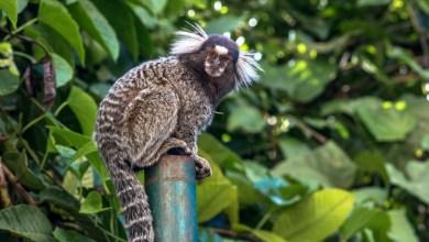 """Photo of Macaco Aurita é eleito como """"mascote"""" de Viçosa"""