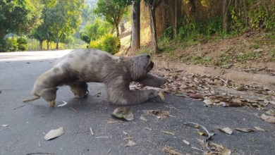 Photo of De jacaré a bicho-preguiça: Viçosa recebe 'visita' de animais silvestres