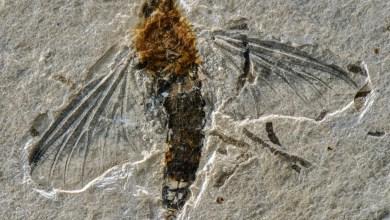 Foto de Professor da UFV participa da descrição de um fóssil raro de inseto aquático