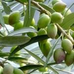 オリーブオイルのおすすめ、本物を選ぶ方法とは?