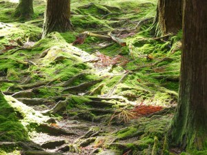 moss covered roots