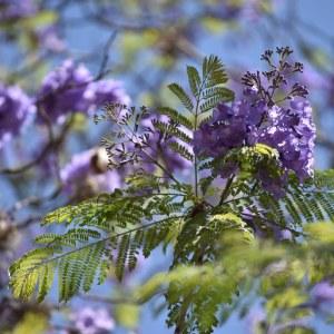 flores morelia ACG 4
