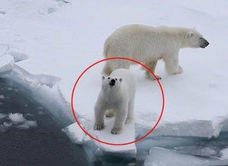 Oso polar ruge contra turistas para cuidar a su mamá