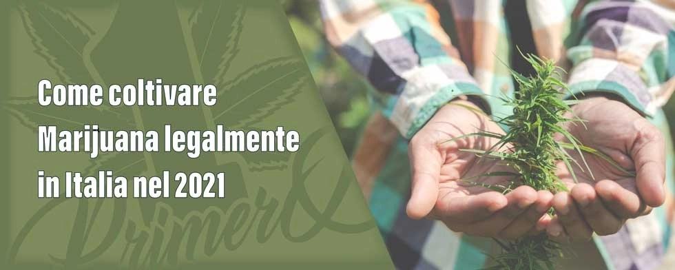 come-coltivare-marijuana-legalmente