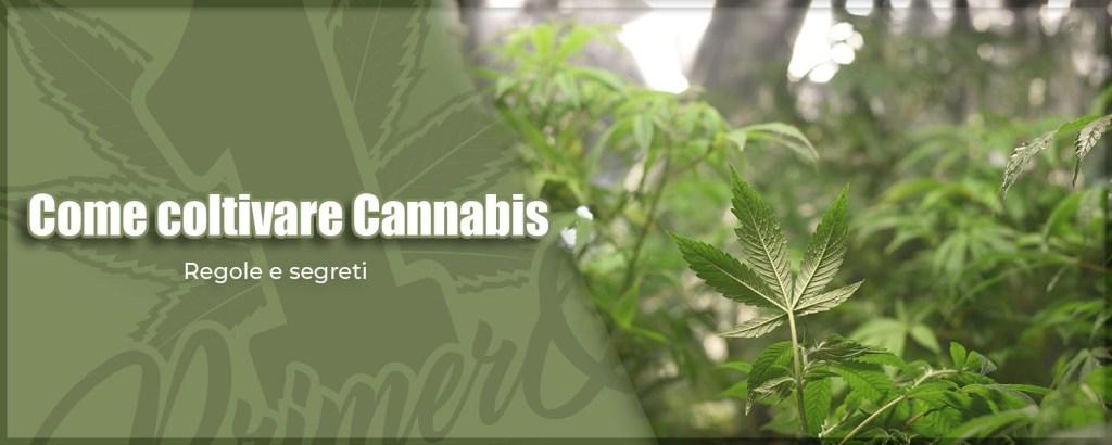 come-coltivare-cannabis-le-5-regole-di-primero