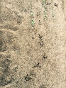 Turkey foot prints in root crop garden that is the the risk of pastured animals and gardens they can make A mess of the gardens