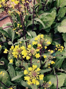 As I harvest some winter greens the bees are so busy buzzing around