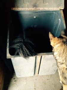If you look close you can see Victoria's tail she jumped in feed bin to catch a mouse