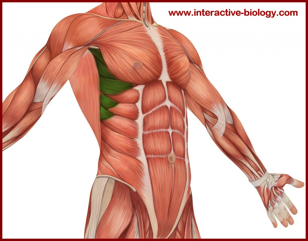 diagram of rib cage and muscles basic 110 volt wiring the thor challenge week 23 p r i m t v a u webhome see that muscle group on left one highlighted in green between lats them there s called serratus anterior what like to