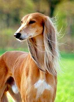 Long Haired Greyhound Dog : haired, greyhound, Gazelle-Hound-feathered-ears, Primitive