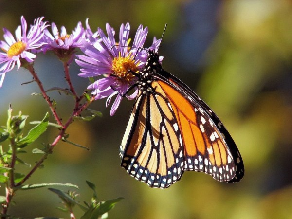 Have you considered butterfly gardening? Each summer we enjoy seeing a variety of butterflies, but we can do more to help them thrive. Here are some ideas.