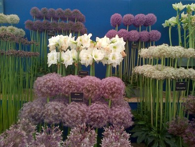 Lots of aliums!