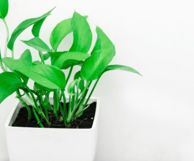 A common houseplant has been genetically modified, but are the results beneficial to our health? Researchers at the University of Washington may have the answer! #PrimroseCreations #LoveTheLifeYouLive #ScienceBehindItAll #Pothos #Houseplants #IndoorPlants #Botany #GMO