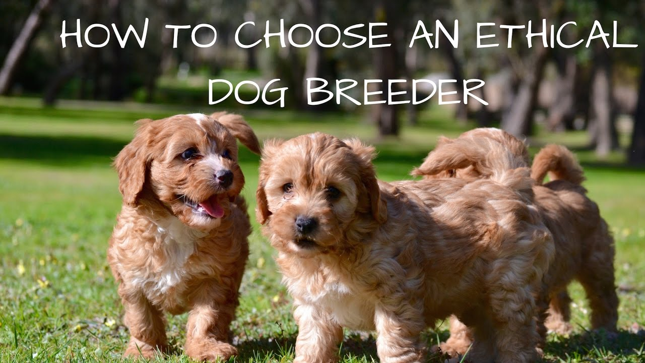 The Ethical Dog Breeder – A Rare Breed