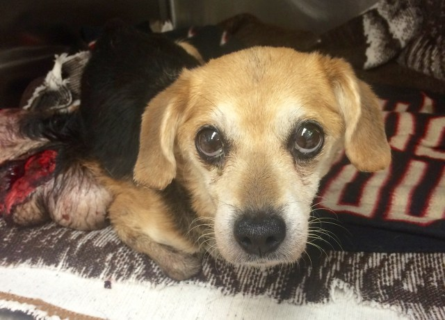 This adult beagle was found after she apparently was abandoned along Winston Avenue. [Virginia Beach Animal Control/Courtesy]