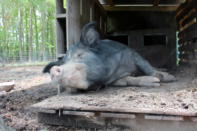 In addition to non-soy, non-GMO food, the hogs munch on natural grasses and veggie scraps from a local farm. [John-Henry Doucette/The Princess Anne Independent News]