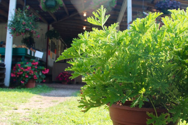 A citronella plant at Cindy's Produce on Harpers Road in Virginia Beach. [The Independent News]