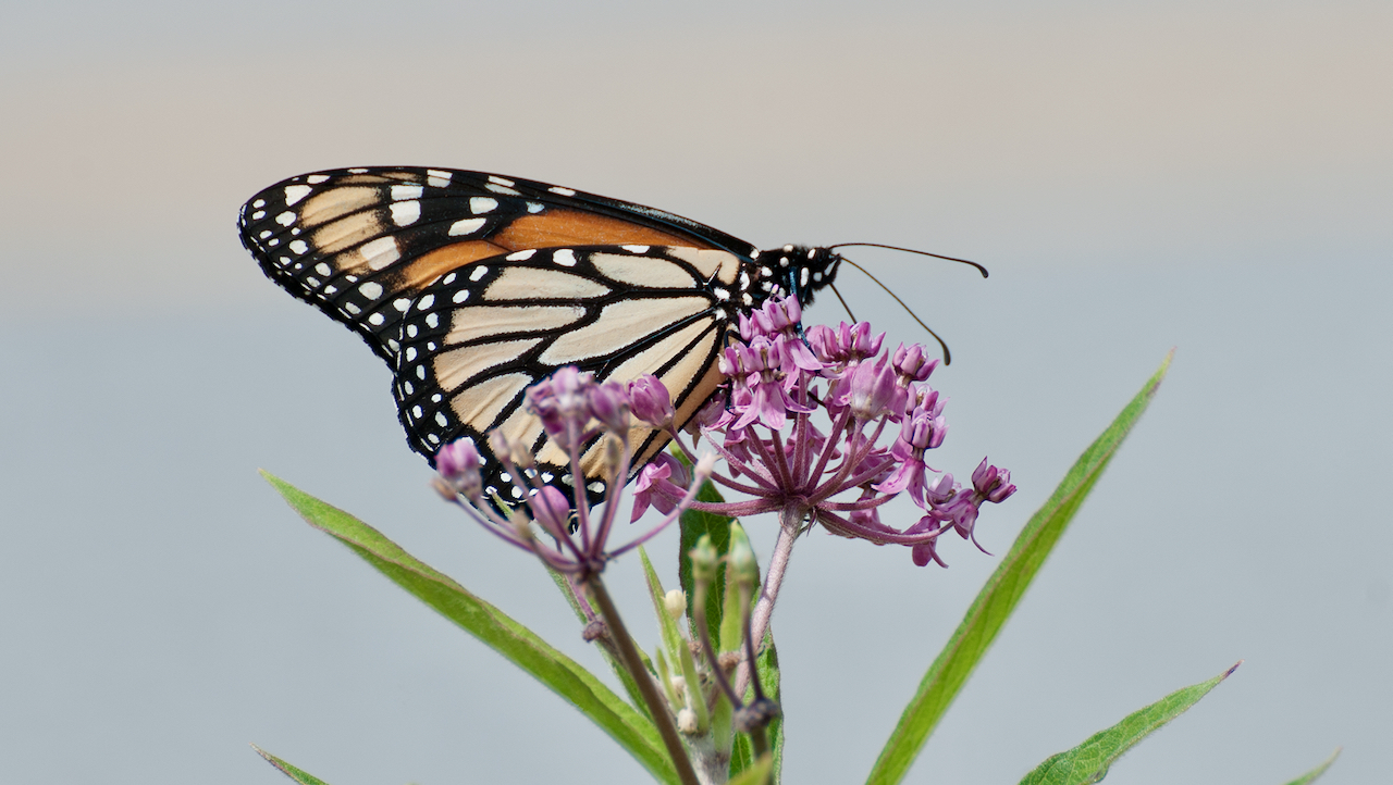 Column: Fall garden favorites for you and the pollinators