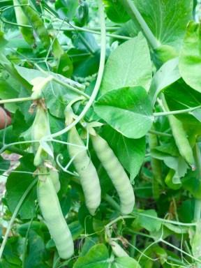 White-ish Peas - Morgan Nelson, Photo