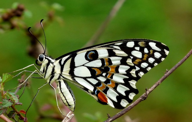 Common_Lime_Butterfly_Papilio_demoleus_by_Kadavoor