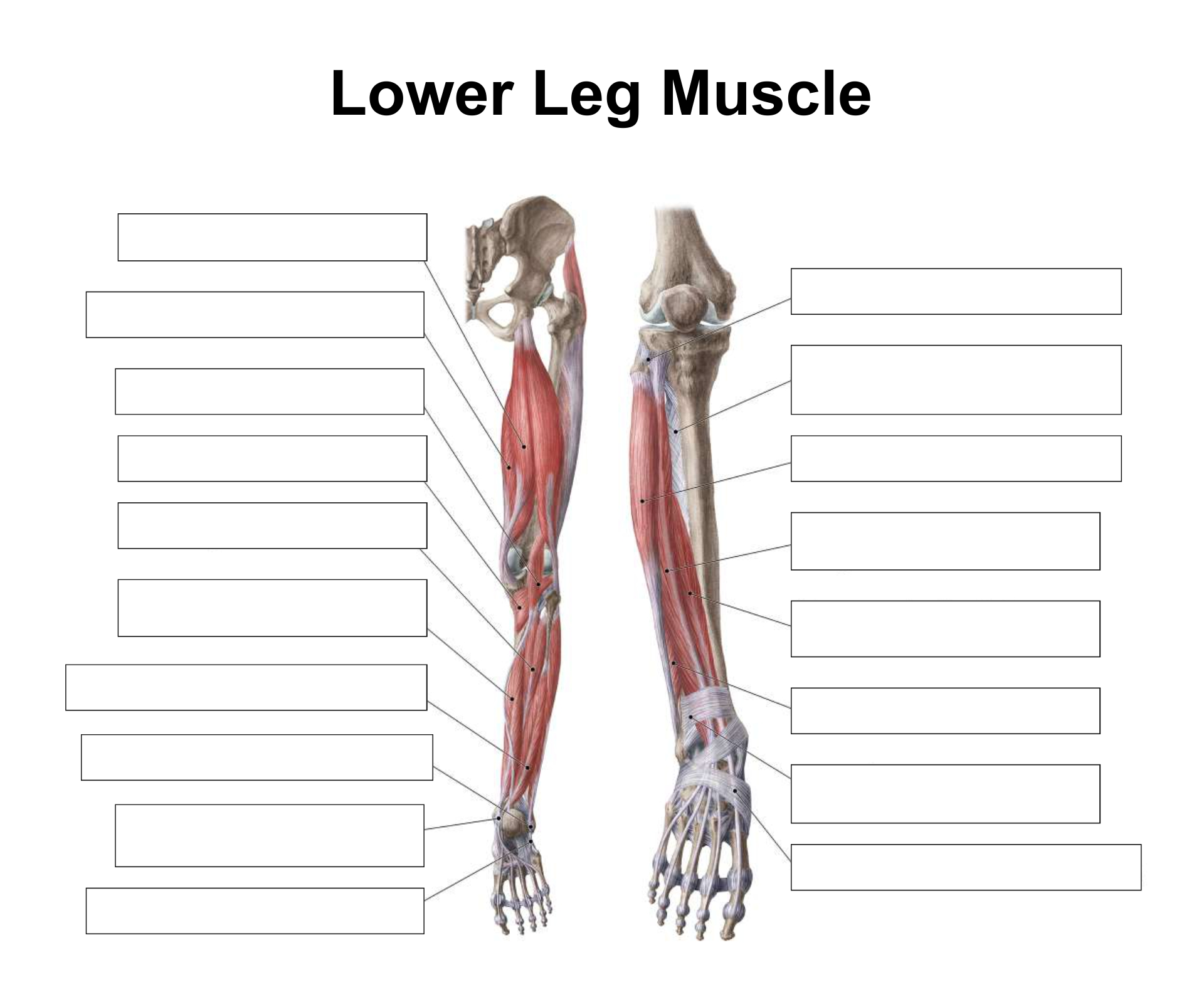 Printables. Muscle Identification Worksheet. Agariohi