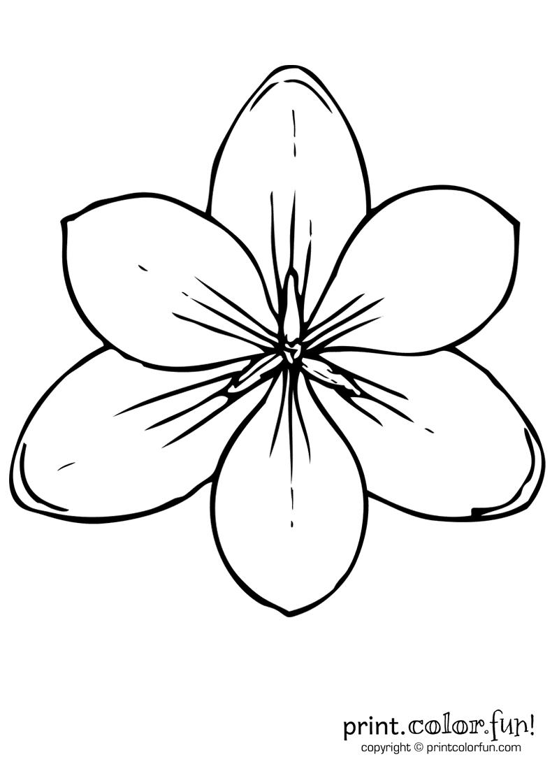 Crocus Flower Coloring Page Print Color Fun