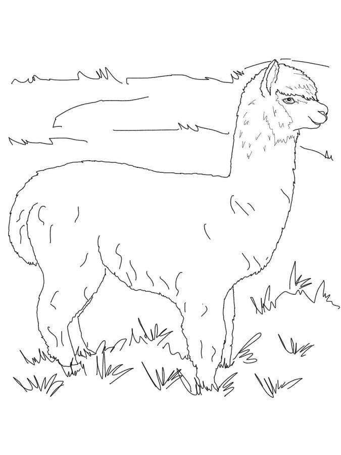 Llama Coloring Pages Llama Coloring Page Alpaca Color