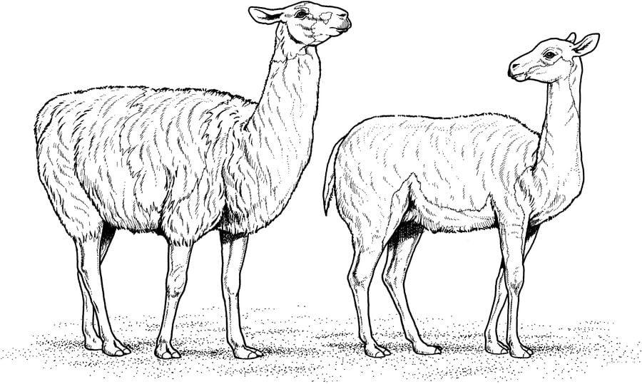 Alpaka Malvorlage