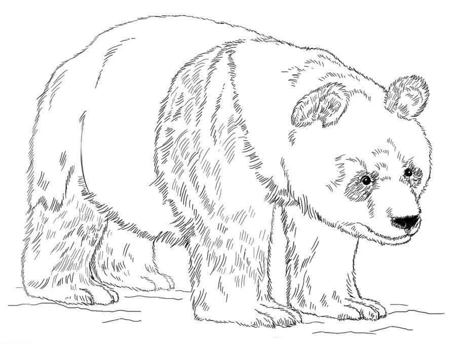 Kolorowanki: Panda wielka do druku dla dzieci i dorosłych