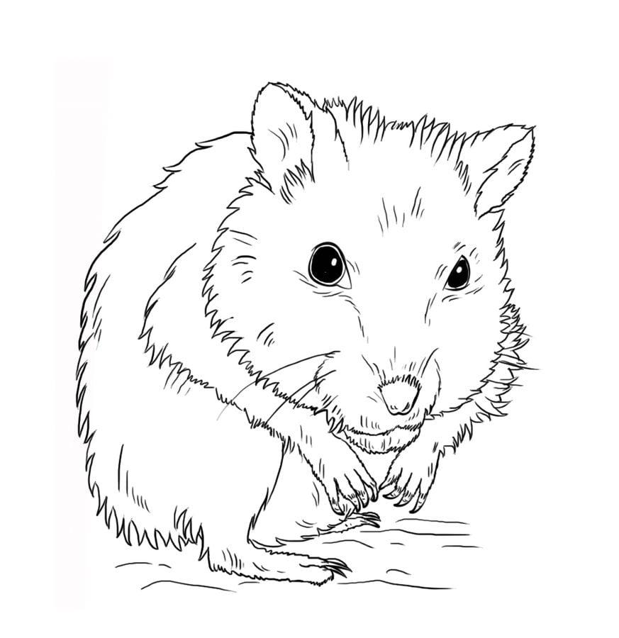 Ausmalbilder: Hamster zum ausdrucken, kostenlos, für