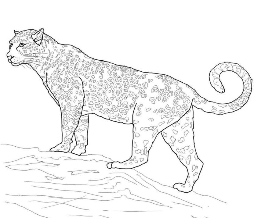 Dibujos Para Colorear Jaguar Imprimible Gratis Para Los Niños Y