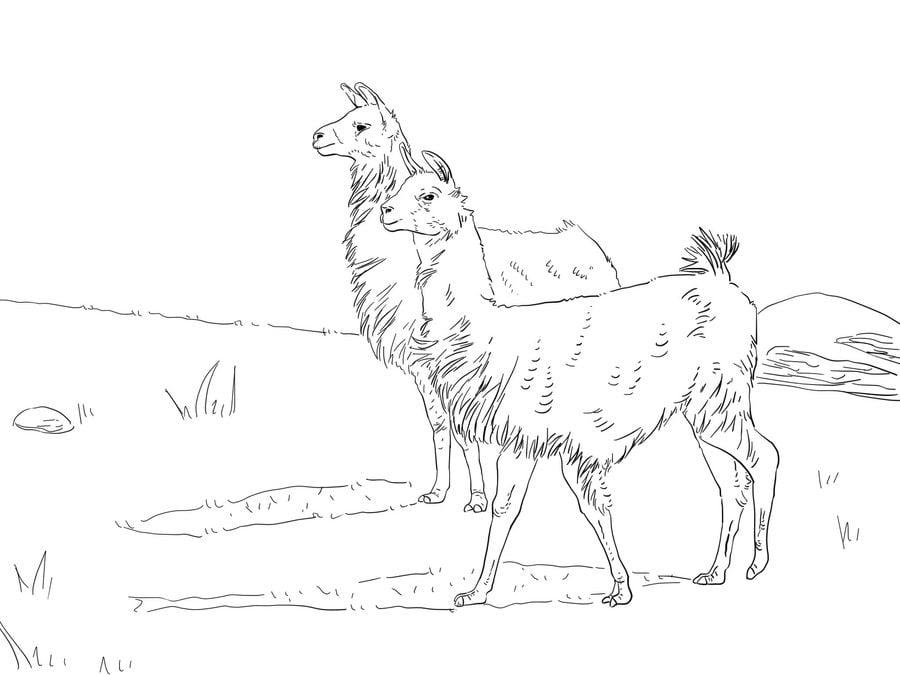 Ausmalbilder Lama zum ausdrucken kostenlos für Kinder