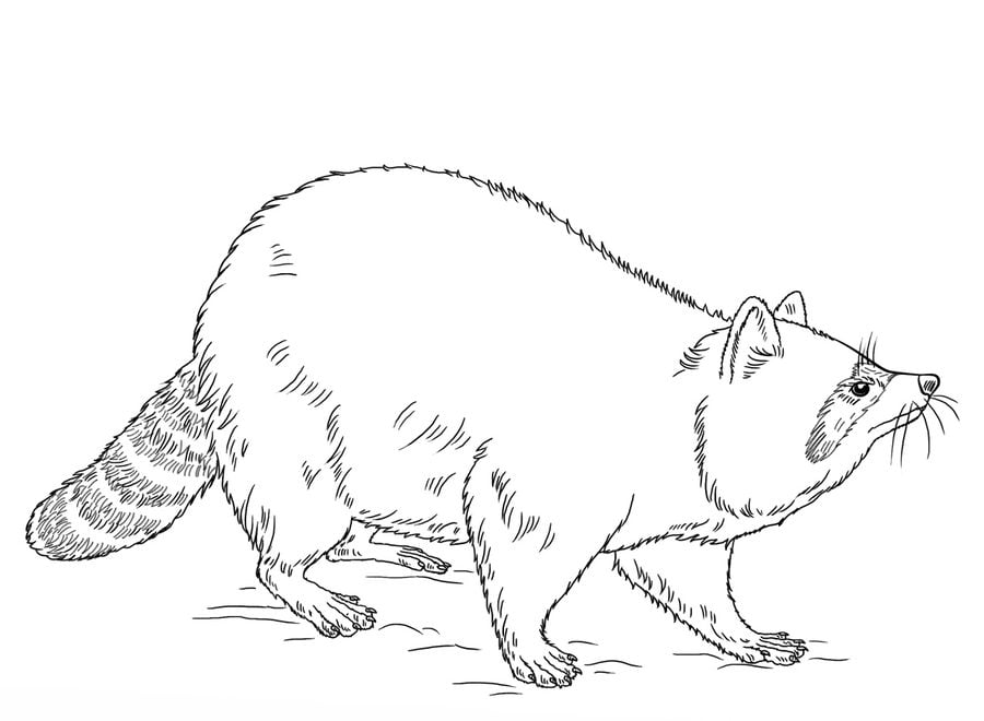 Ausmalbilder: Ausmalbilder: Waschbären zum ausdrucken