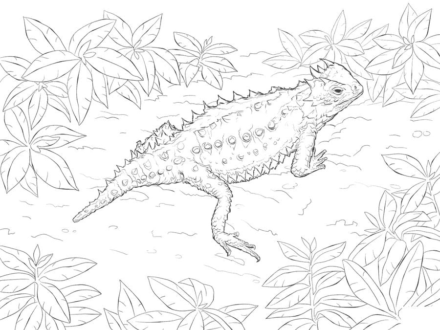 Coloring pages: Horned lizard, printable for kids & adults