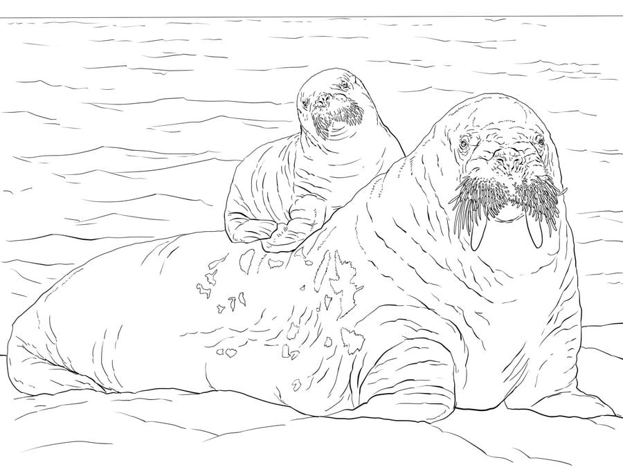 Ausmalbilder: Ausmalbilder: Walross zum ausdrucken