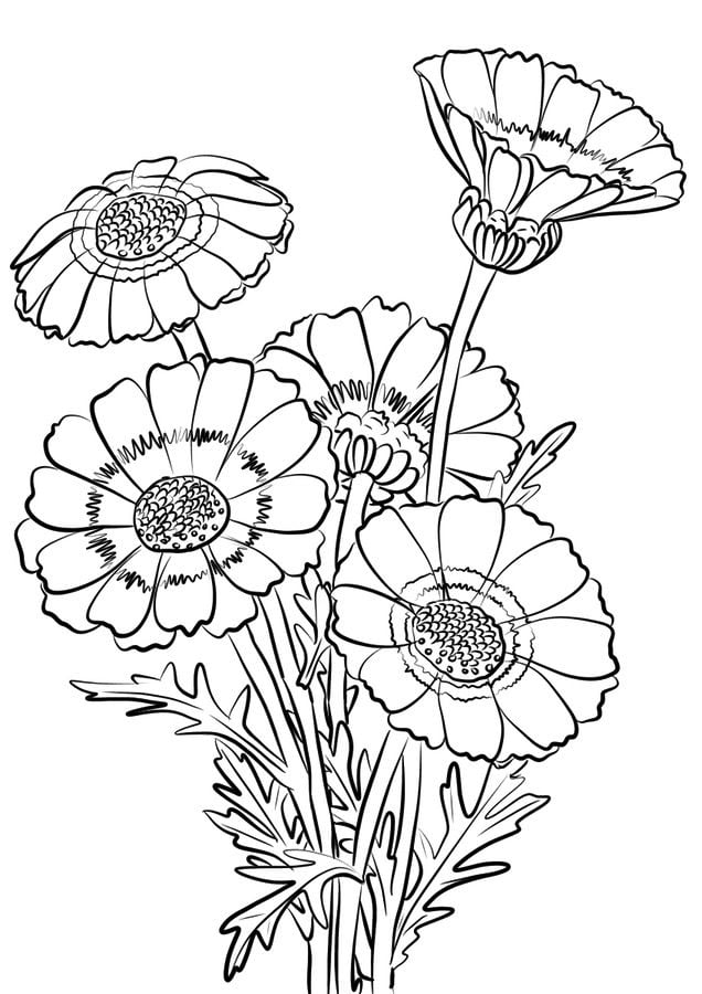 Coloring pages: Coloring pages: Chrysanthemum, printable