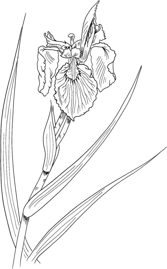 Coloring pages: Coloring pages: Iris, printable for kids