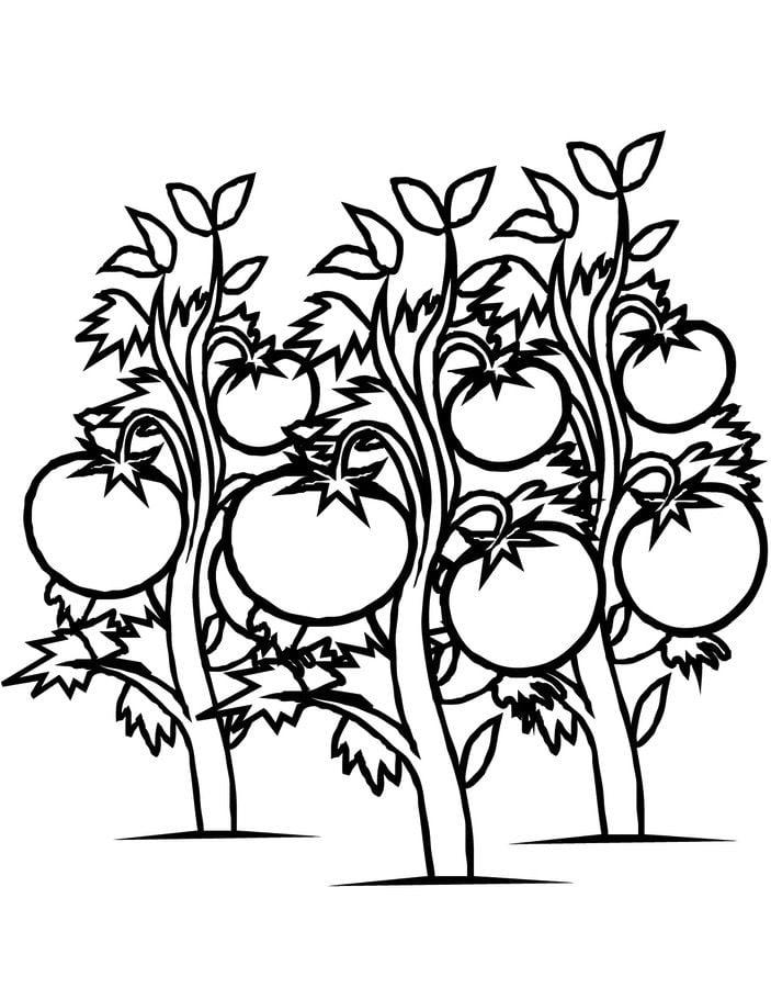 Ausmalbilder: Tomate Ausmalbilder Gemüse Pflanzen