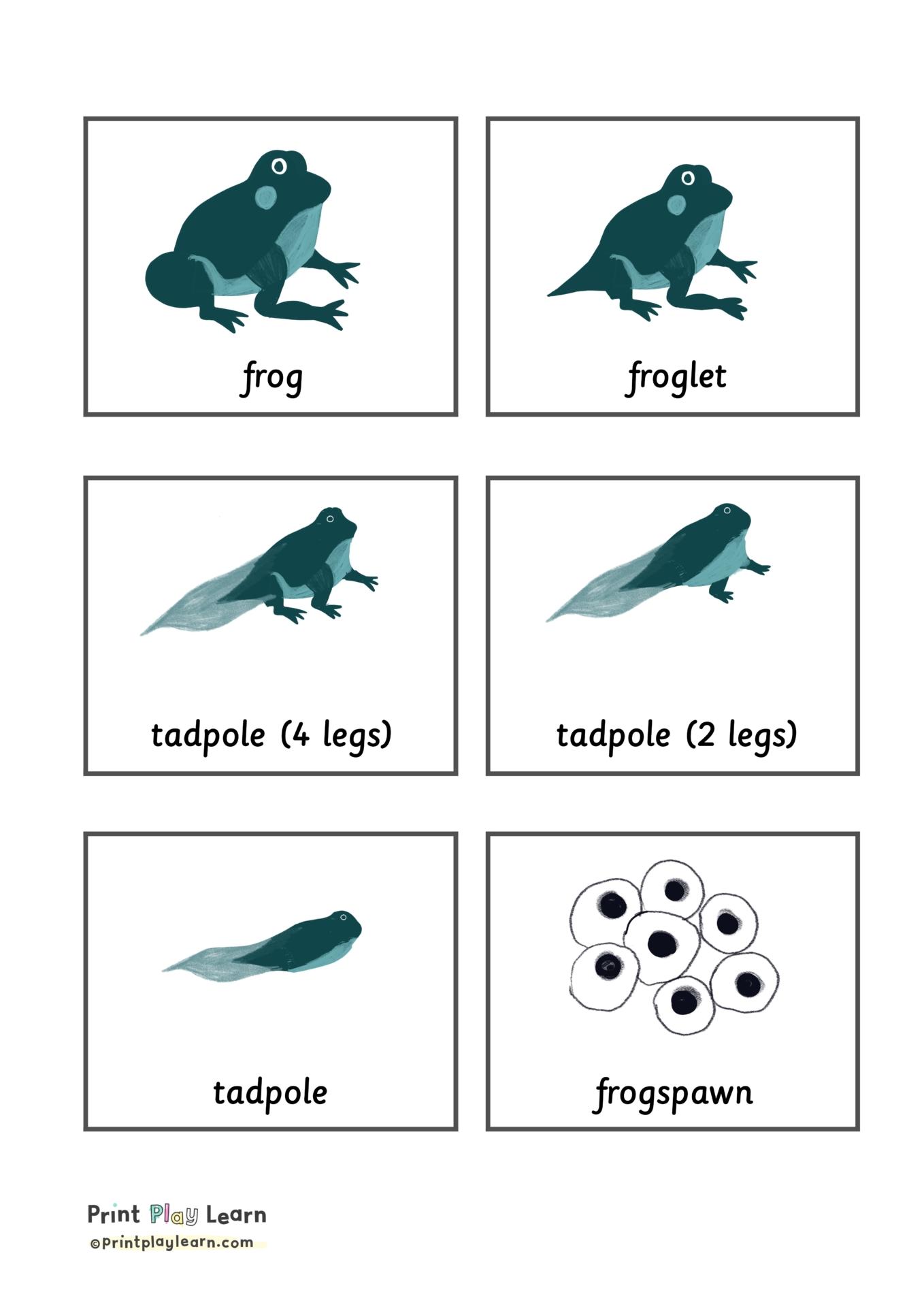 Frog Life Cycle Flashcards