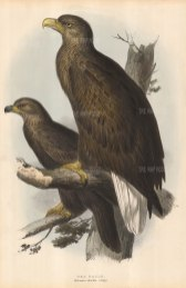 Eagle: Brown Sea Eagle pair perched on a branch.