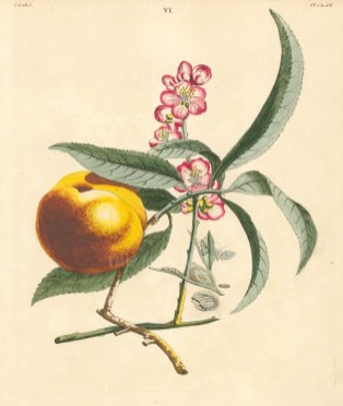Orange Peach, amygdalus perssica with the Small Ermine Moth, phalena euonymella.