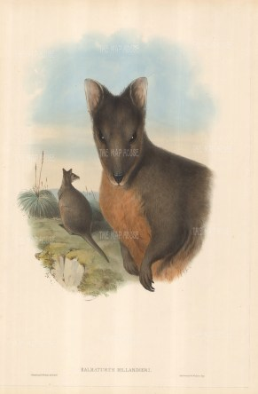 Halmaturus Billardieri: Tasmanian Wallaby. Two wallabies, one in foreground, other in grassy background.