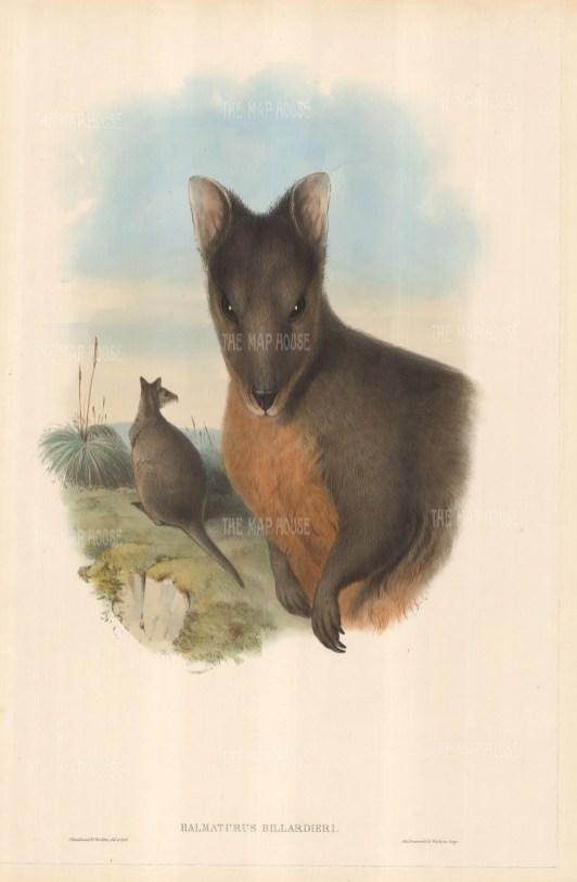 Halmaturus Billardieri: Tasmanian Wallaby. Two wallabies, one in foreground, other in grassy background.