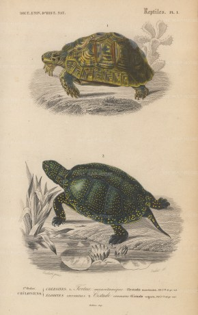 Turtle and Tortoise: African tortoise, Testudo mauritanica and the Common turtle, Cistudo vulgaris.