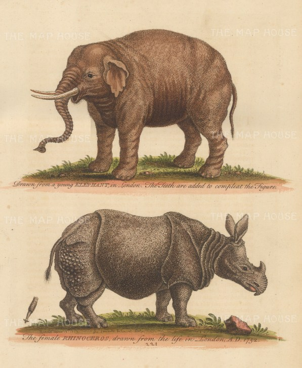 Female Rhinoceros and young elephant with tusks added by Edwards. Drawn from life in London.
