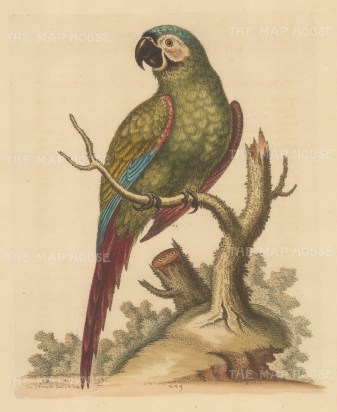 Brasilian Green Macaw. Pet of Lord Carpenter, drawn from life by the 'Father of British Ornithology'.