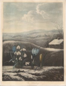 Snowdrop: With yellow and purple crocuses set in a wintry English landscape.