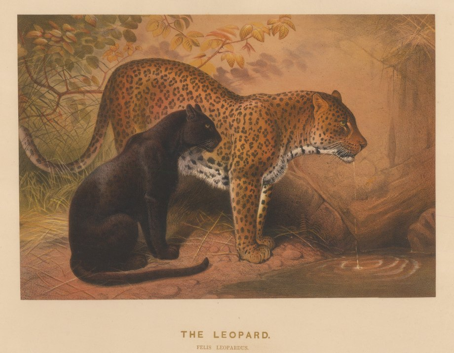 """Wolf:Leopard and Panther. 1861. An original colour antique lithograph. 15"""" x 11"""" [NATHISp7493]"""