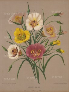 "Van Eeden: Calochorti. 1880. An original antique chromolithograph. 10"" x 13"". [FLORAp3115]"